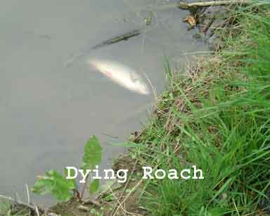 Dying Roach